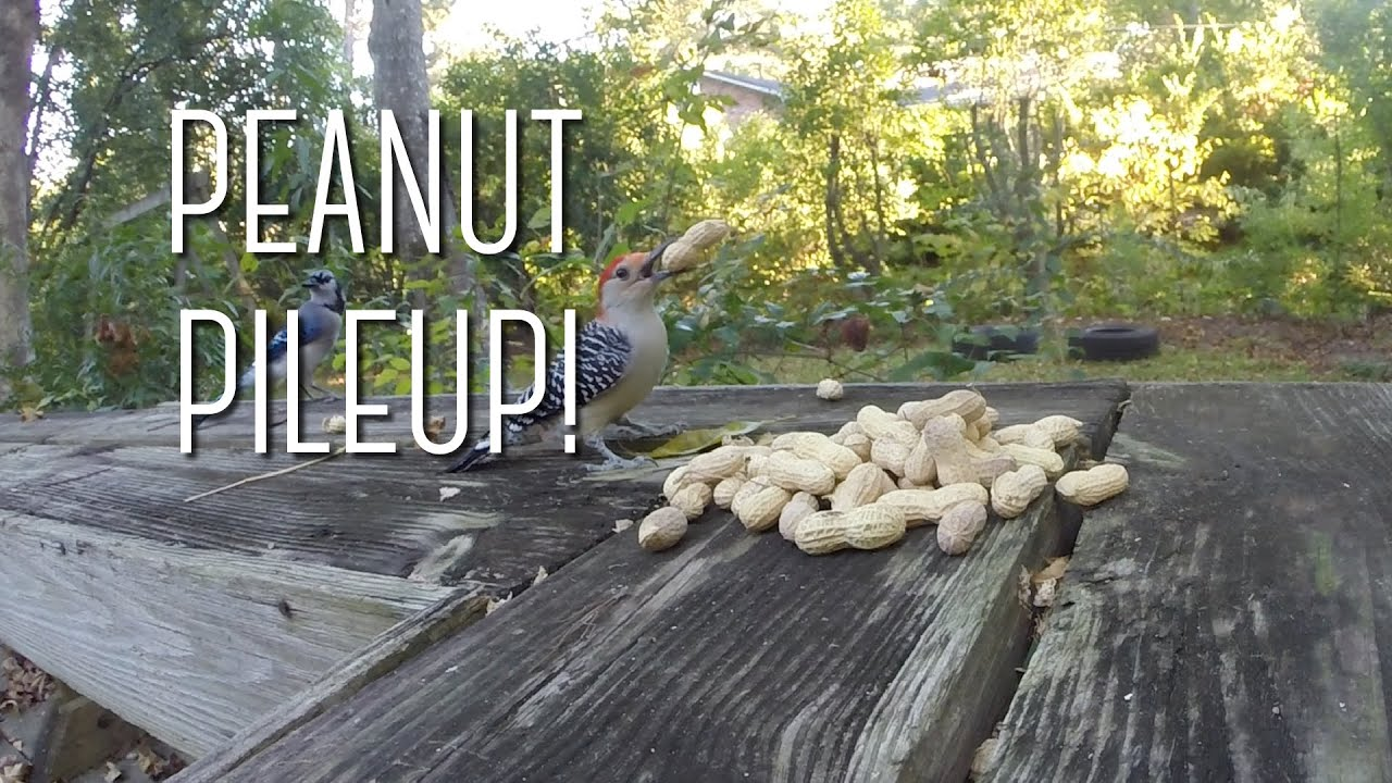 peanuts attract blue jays woodpeckers and squirrels youtube