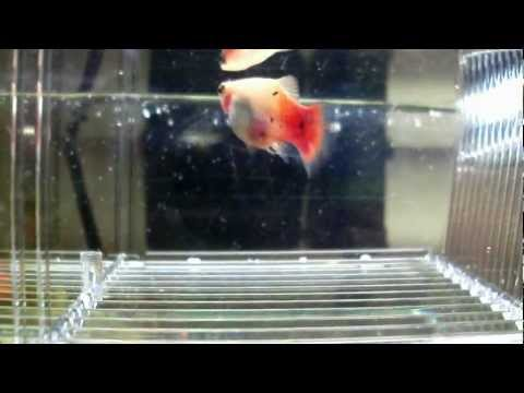 Miracle Of Life Platy - Xiphophorus Maculatus Giving Birth