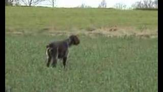 German Wirehaired Pointer On Pheasant