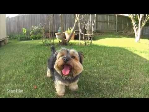 Yorkie Dog In The Shade