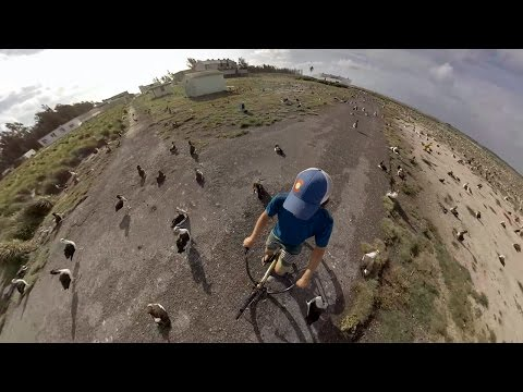 Biking around Albatross Chicks on Midway Atoll