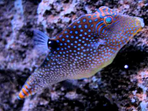 Super rare fuji puffer saltwater tank fish youtube for Rare saltwater fish