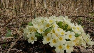 Primavera nel bosco un tappeto a fiori