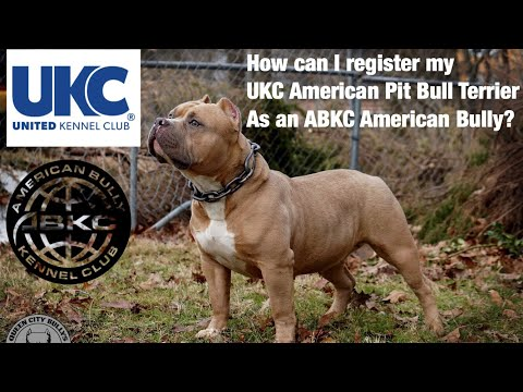 How To Register Your UKC Registered American Pit Bull Terrier As An ABKC American Bully!