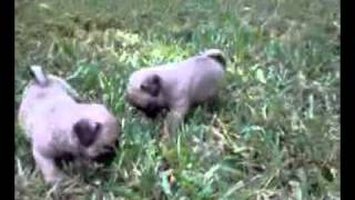 Pug Puppies For Sale In Florida 7 Akc