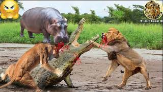 3 Powerless Lions Against A Crocodile Three Lions Recklessly Attack A Crocodile Underwater