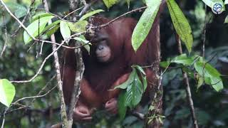 Released orangutans Shila and Pungky spotted in the wild!