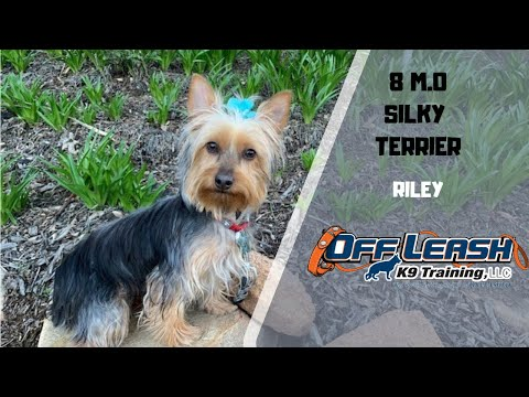 "8 M.O. SILKY TERRIER ""RILEY"" 2 WEEK BOARD & TRAIN W/ MICHELLE & CHRISTY"
