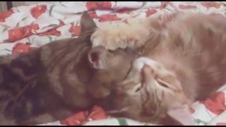 Любовь: кот ухаживает за кошкой
