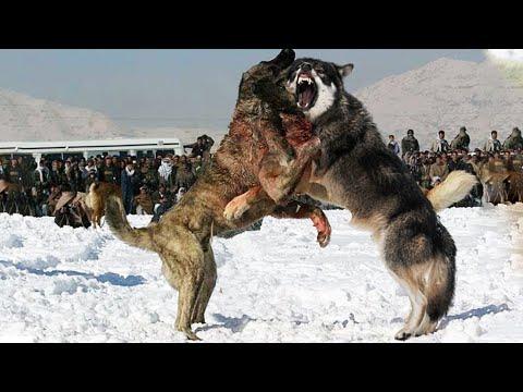 Бой ВОЛКА против АЛАБАЯ, два мощных зверя сразились в ЖЕСТОКОЙ схватке. Кто же победит?