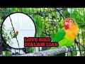 Love Bird Liar Hampir Di Shote Mendekat Dengan Suara Love Bird Pancingan Lovebird  Mp3 - Mp4 Download