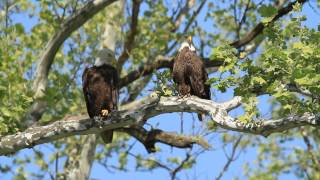 Female & Male Bald Eagle