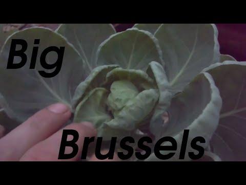 Big Brussel Sprouts: Lava Rock Aquaponics
