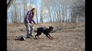 Защита хозяина. Тест собаки: Первые пробы (Костюм, рукав).