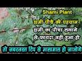 Shami Tree and all Shami Tree Type सभी प्रकार के शमी पेड़ का वर्णन, कौन सा शमी का पौधा घर में लगायें