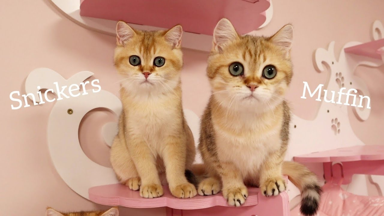 Kittens shake their heads to the beat of the music 😁 Muffin and Snickers