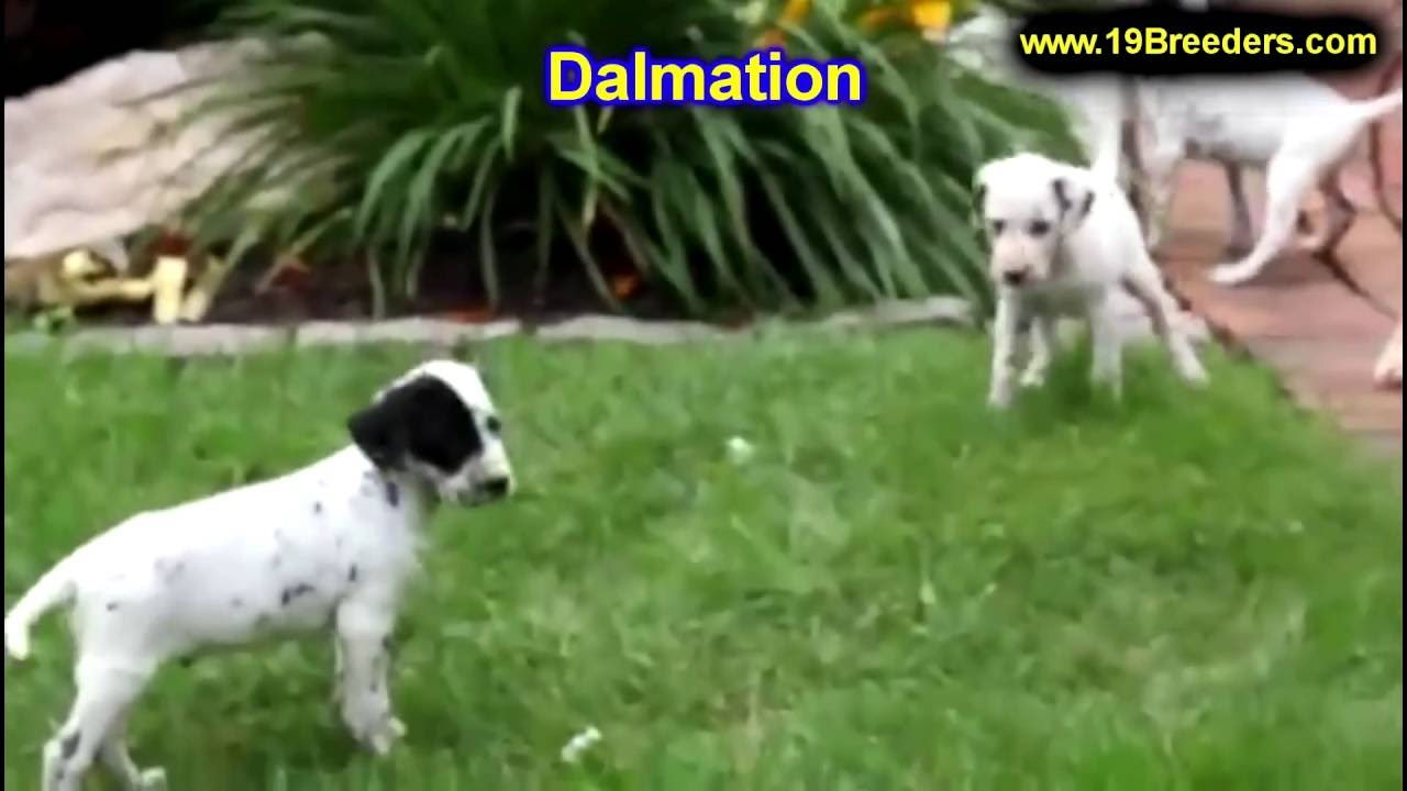 Dalmatian Puppies Dogs For Sale In Kansas City Missouri Mo
