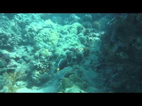 Reef TriggerFish & Achilles Tang Fish - Beach 69 Snorkeling - Big Island, Hawaii