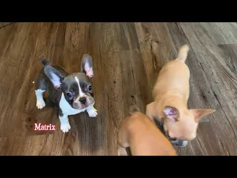 AKC French Bulldog Puppies For Sale - Oregon