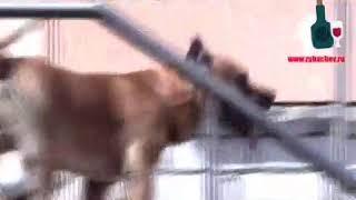 Собака п'яная