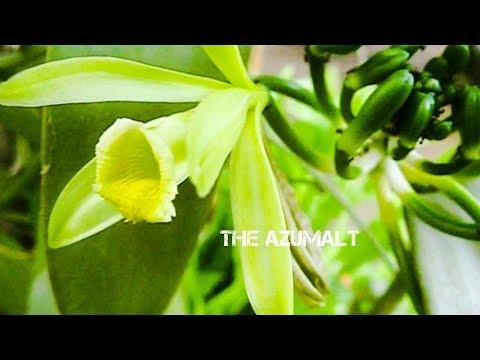Pollinating Vanilla Tahitensis | Menyerbukkan Pohon Biji Vanili