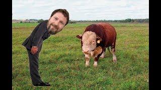 Вежливый загон быков