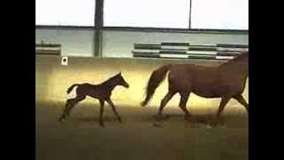 Hanoverian foal Pferdezucht Windeler SF Royal Classic-Wolkenstein-Calypso II geb. 2010, 3 Tage alt