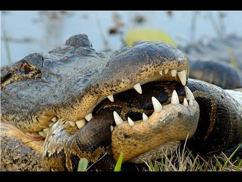 Crocodile Vs Anaconda Fight | www.pixshark.com - Images ...