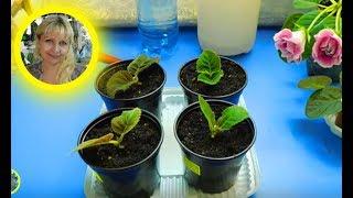 🌱ГЛОКСИНИИ ИЗ МАКУШЕК ! РАЗМНОЖЕНИЕ, ВЫРАЩИВАНИЕ И УХОД 🌱How to grow gloxinia №4