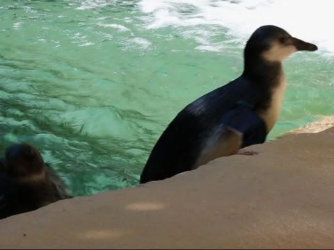 Raw: African Penguins 'Make a Splash' in Dallas