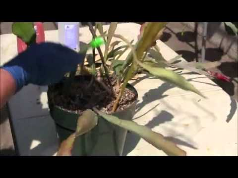 Removing Treating Scale On Epiphyllum Plants