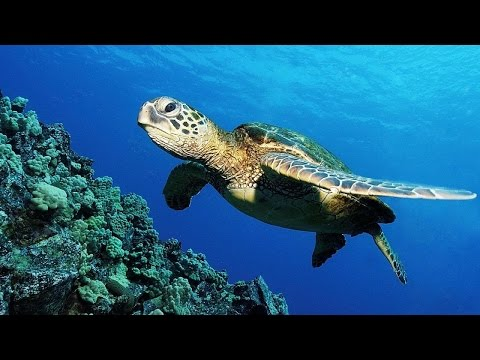 Snorkeling with Amazing Sea Turtles in Indian Ocean in Al Aq