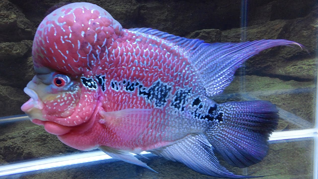 How to Grow Flowerhorn Hump, Kok, Head - 1 Year Growth ...