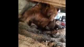 Мужик со стальными яйцами прогоняет медведя со двора