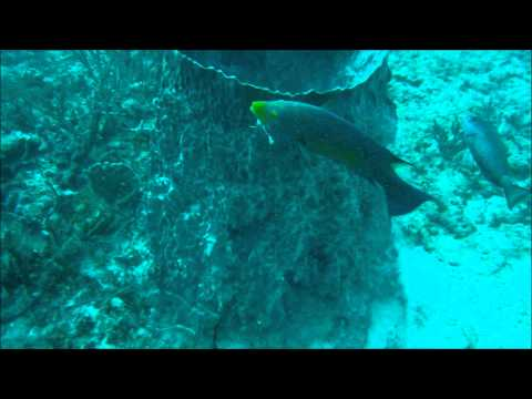Spanish Hogfish Eating A Crab