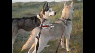 Walking With My Siberian Huskies In Dunes