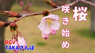 「旭山記念公園」4月24日北海道札幌にも桜が咲き始めた、札幌の街並みを見下ろし、四季折々の彩りを見せてくれる、好きな公園の一つです。