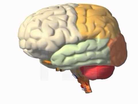Struktur des Gehirns Animation Video - Der Mensch - YouTube