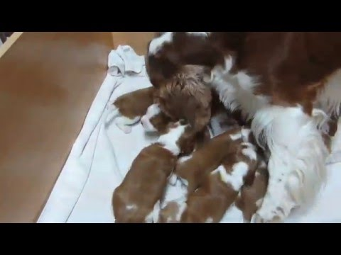 Jade´s Welsh springer spaniel puppies