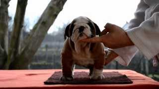 High-lord Kingdom (english Bulldog Male) 7-weeks