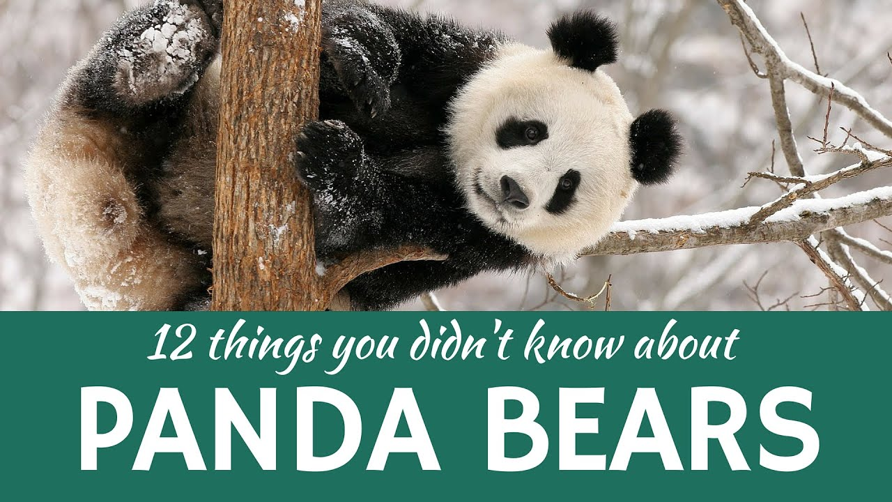 Giant and Red Panda: Presenting 12 Interesting Facts about Rare ...