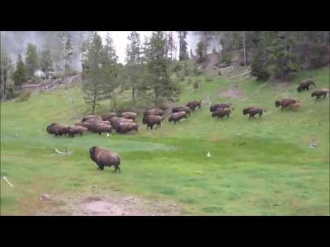 Yellowstone Bison Stampeede