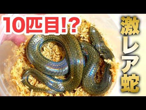 我が家にきた10匹目のヘビがスゴすぎた!