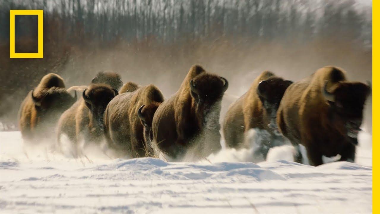 Wolves vs. Bison: On Location   Hostile Planet