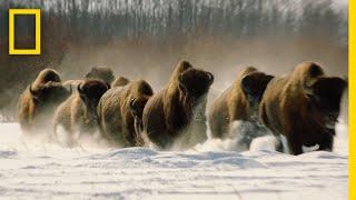Wolves vs. Bison: On Location | Hostile Planet