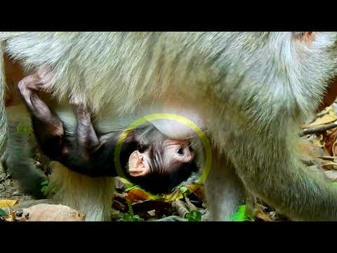 Welcome To New Born baby Monkey In Mila Group! |Mommy Gives A New Birth To Baby On 11th, March 2018