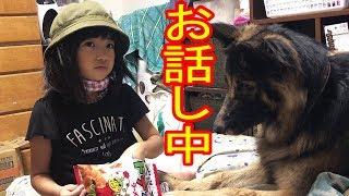 大型犬#ジャーマンシェパード犬マック君、最近はかーちゃんに ラーメン...