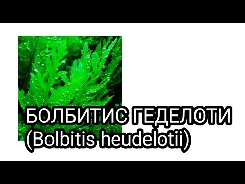 Болбитис геделоти (Bolbitis heudelotii)