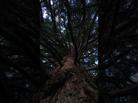 Giant redwood (Sequoiadendron giganteum) - canopy - January 2018