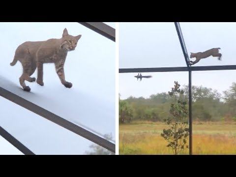 Kevin Campbell - Bobcat Chases Squirrel On Screened Patio In Florida